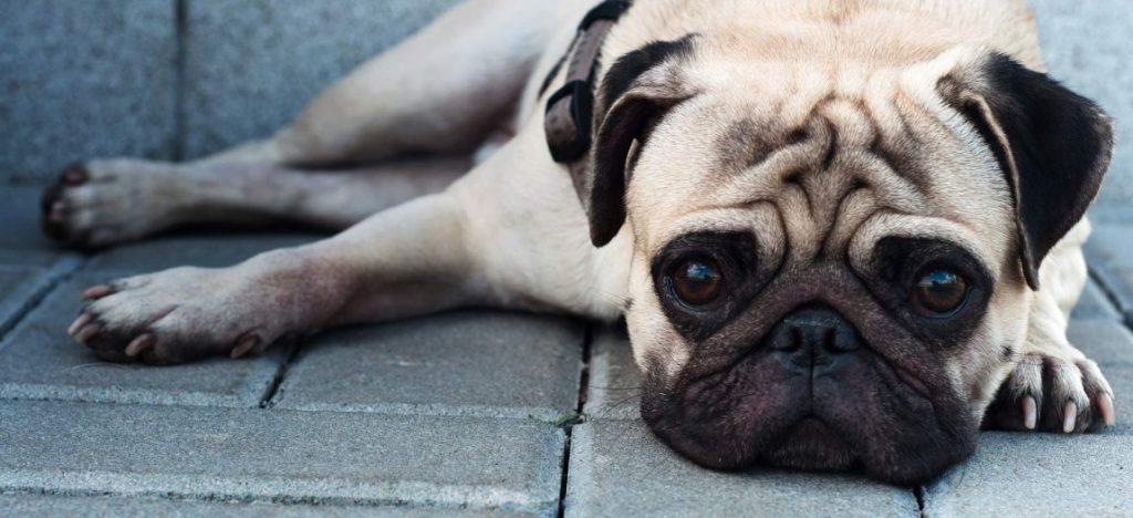 Se investiga un insecticida oral para perros capaz de matar al vector de la leishmaniosis 1