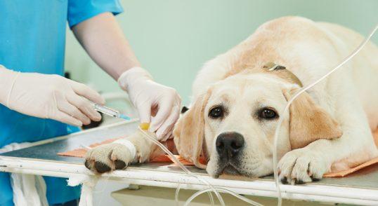 perro labrador es hospital veterinario