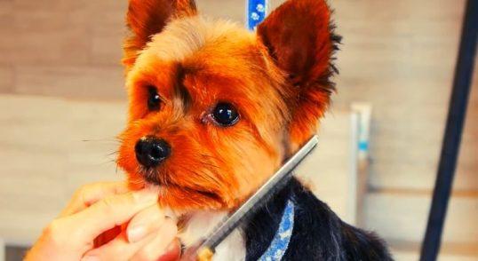 peluqueria-canina-para-yorkshire