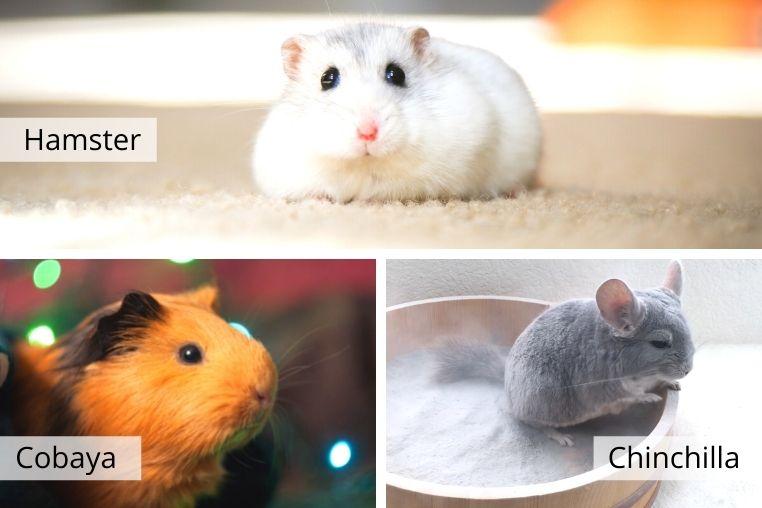 como cuidar chinchilla cobaya hamster