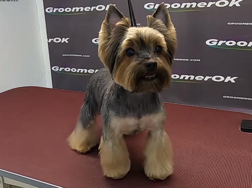 Peluquería Canina para Yorkshire Terrier 7