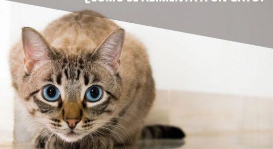 como se alimenta a un gato